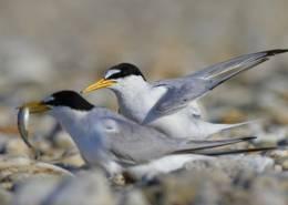 Mala čigra/Little tern