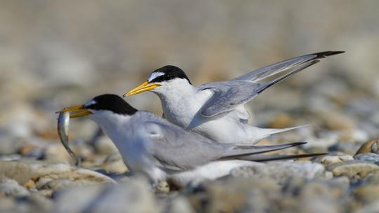 Mala čigra/Little tern