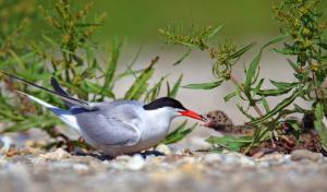 Common tern/Crvenokljuna čigra
